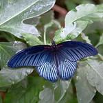 Blue Iridescent Butterfly thumbnail