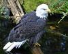 Bald Eagle (Dave Stiles) Tags: birds wildlife baldeagle ornithology birdwatcher stiles specanimal wingedwonders animalkingdomelite avianexcellence theperfectphotographer