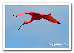 ibis escarlata / scarlet ibis (Tony Glvez) Tags: brazil bird colors birds brasil geotagged colours aves colores ibis ave luis sao luiz scarletibis maranhao lus alcantara guara eudocimusruber guar ibisescarlata garzaroja geolocalizada geoetiquetada geoposicionada geopositioned geolabeled