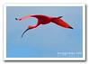 Guará / scarlet ibis