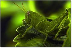 Grilo 4 (.Tatiana.) Tags: friends macro verde green closeup grilo filtro braganapaulista johanes fotoclube duetos nacasadamami johanesduarte closeup42 siteparavendadefotos httpwwwplanobfotodesigncom fototatianasapateiro