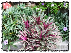 Tradescantia spathacea 'Hawaiian Dwarf' or Tradescantia bermudensis 'Variegata' amongst others in our garden bed, captured Feb 18, 2008