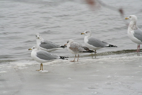herring ring billed