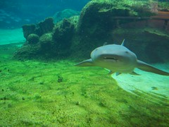 Freddy (Sharife) Tags: fish water swimming mouth shark rocks tank turtle farm predator nurseshark