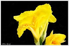 #94/08  Stunning Canna (Ibnu Yusuf) Tags: flowers yellow explore malaysia stunning lovely a200 soe selangor shahalam excellence tropicalflowers lakegarden cannaindica flowerotica sonydslr abigfave shieldofexcellence citrit ilovemypic brillianteyejewel ibnuyusuf dazzlingshots mysonia