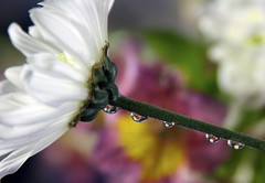 SPRING DROPS (jodi_tripp) Tags: flowers water rain drops lily bokeh daisy refractions firstquality joditripp spring08 challengeyouwinner wwwjoditrippcom photographybyjodtripp