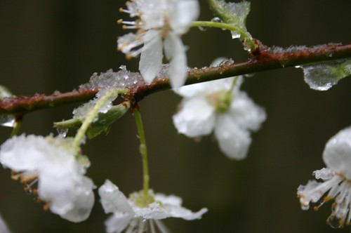 snow on blossoms 4