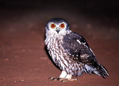 Barking Owl (brad.schram) Tags: australia kakadu owls barkingowl ninoxconnivens