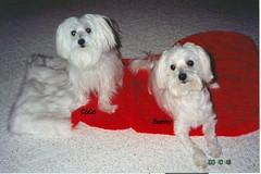 CoCo (left) and Sundog (malteserus) Tags: dog sundog malteserus cocomaltese