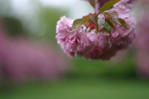 Cherry Blossom closeup
