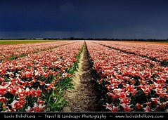 Netherlands - Pink Tulip Field under Stormy Attack ( Lucie Debelkova / www.luciedebelkova.com) Tags: travel flowers light panorama flower holland color colour green nature netherlands floral colors beautiful beauty field lines festival closeup garden landscape botanical outdoors spring flora colorful europe pattern view tulips emotion blossom fresh strip tulip bloom vista fields bulbs botanic feeling paysage exploration landschaft freshness flourish blooming earlyspring evropa holandsko fiel