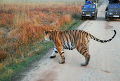 lucky Jeeps (JacBach) Tags: park india jeeps tiger bandhavgarh tigerreserve bitu luckyjeeps 408169083m