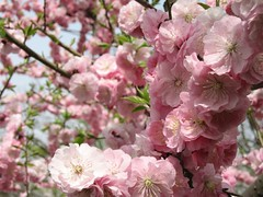(mamako7070) Tags: pink flowers plants flower spring plum ume plumblossom blooming    bungoume