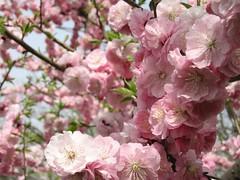 (mamako7070) Tags: pink flowers plants flower spring plum ume plumblossom blooming 梅 うめ 豊後梅 bungoume