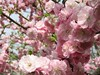 (mamako7070) Tags: pink flowers plants flower spring plum ume plumblossom blooming 梅 うめ 豊後梅 bungoume