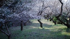 At the plum garden (photoholic image) Tags: plum blossom flower tree plant nature garden plumblossoms