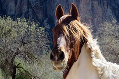 A Horse in the Country (5of7) Tags: saguarolakeguestranch recreation trailrides bulldogcliffs saguarolake arizona ranch horse fav outdoor animal 10fav ahorseinthecountry thecowboyjunkies song andromeda50bestofthebest challengewinner lovely portrait 19fav