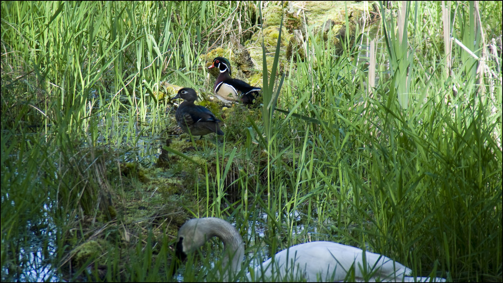 Wood Duck and Mate with Trumpet Swan ~ Project 365/134
