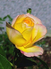 "Rose_""Gold Medal' (catface3) Tags: flower rose yellow garden washingtondc dc explore goldmedal nationalgarden blueribbonwinner catface3"