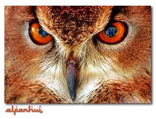 Medieval market: Owl