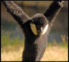 Gibbon (Shoeless Joe/64) Tags: texas ape fortworth gibbon fortworthzoo hylobatidae nomascus photofaceoffwinner pfogold