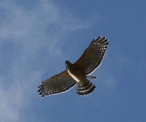 hawk close up 1