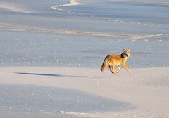 Coyote Levitation (Fort Photo) Tags: coyote winter shadow snow silly ice nature animal jump nikon bravo colorado searchthebest fort wildlife fortcollins levitation canine co collins bounce 2007 d300 canis naturesfinest wildlifenorthamerica canislatrans supershot animalkingdomelite abigfave flickrgold infinestyle empyreananimals prospectponds