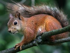 Summer Girl (Tomi Tapio) Tags: tree cute face female fur iso800 helsinki squirrel branch nipple ears orava muzzle allotmentgarden teat sciurusvulgaris highquality kumpula siirtolapuutarha sqrl eurasianredsquirrel kurre canonef90300mmf4556usm diamondclassphotographer