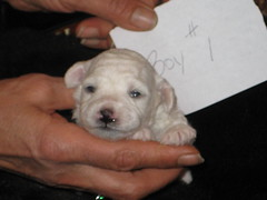 Jolie/Zizou Puppies (bevbusse) Tags: puppies bichonfrise heavens bevbusse