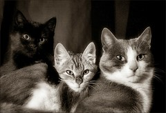 three cats / tres gats (Ferran.) Tags: bw cats 3 cat catalonia gat ripolles gats queralbs diamondclassphotographer votedthebest excapture