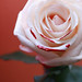 Catherine The White Rose