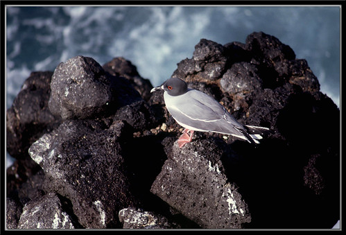 Swallow-tailed Gull - South Plaza Island, Galapagos