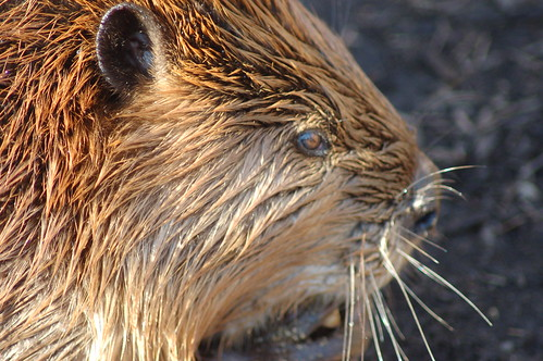 CloseUp Of Wet Beaver Face Cool Ears and Whiskers