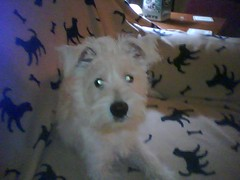 Penny - Our new westie friend