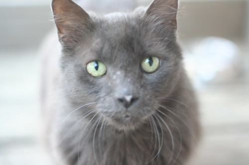 oscar the gray cat