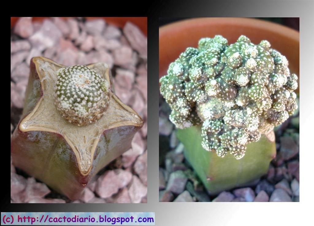 injerto blossfedia liliputiana myrtillocactus graft cacti cactus