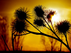 Last steps of day (Gary*) Tags: light sunset sun nature bravo silhouettes seeds shade soe xoxoxo lovethis magicdonkey lovephotography platinumphoto colorphotoaward superbmasterpiece mubml pokeypokey