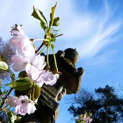 Parc de Maulévrier - Fleur de cerisier et lanterne