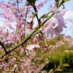 Parc de Maulévrier - Cerisiers en fleurs