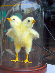 Fake Two-Headed Spring Chicken Under Glass (Walker Dukes) Tags: blue sky baby bird feet strange birds animals yellow buildings reflections easter wings eyes chair feathers surreal creepy chick odd wierd jar peeps biddy bizarre claws beaks