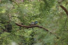 Blue-breasted Cordon-bleu (cmlburnett) Tags: blue bird bleu cordonbleu cordon breasted waxbill indianapoliszoo bluewaxbill uraeginthusangolensis bluebreastedcordonbleu angolensis bluebreasted uraeginthus