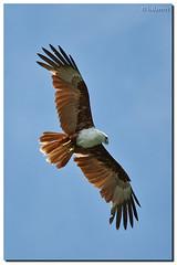Langkawi 21246 (halee1953) Tags: eagle langkawi soe naturesfinest