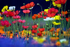 Life ain't black and white (Lee_Bryan) Tags: japan canon poppies tamron explorefrontpage 福岡市動植物園 colorphotoaward adoreadmireappreciate
