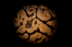 The Brain (Nemo_2016) Tags: canon eos400d tokina fisheye corals braincoral redsea egypt sea ocean diving scuba underwater marine