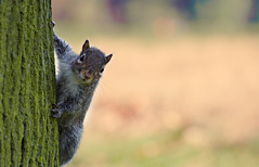 Peek-A-Boo (Philipp Klinger Photography) Tags: uk england color tree london animal closeup rodent nikon squirrel bokeh britain peekaboo united great kingdom gb hydepark philipp klinger hff d700 estremit platinumheartaward vosplusbellesphotos