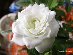 Mini Rosa (Fernando N. Monteiro) Tags: macro rosa minirosa fotorosa minirosamacro