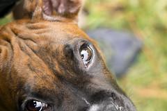 Pleading Eyes (fj40troutbum) Tags: eyes bokeh boxerdogs boxer petportrait petphotography canon50mm18 cs5 gregholland