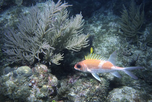 Again licensed under Creative Commons on Flickr, here is a beautiful image of a squirrelfish, similar to what I saw.