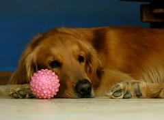 juba likes pink too (zenog) Tags: pink dog ball buzios cachorro lovely juba