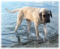 Excalibur at 9 Months (muslovedogs) Tags: dogs mastiff excalibur